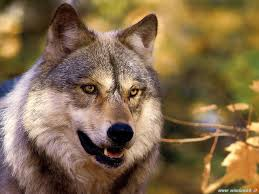 apenijnse_wolf_2