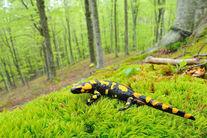 salamander-majella_park
