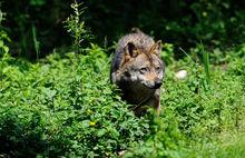 wolf_-majella